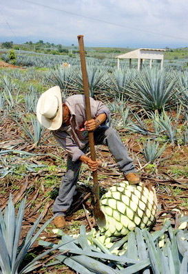 Cutting of an Agave