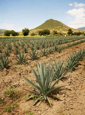 Champ d'Agaves Tequilana
